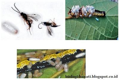 Tawon (kiri) dan Larva Ulat  (kanan) dan Larva Dewasa (Bawah)