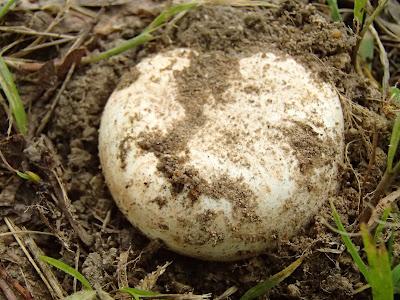 grzyby 2017, grzyby w maju,grzyby w starym parku, pieczarki parkowe, dmuchawce, zabawa dmuchawcami, jaki patyk na węża?