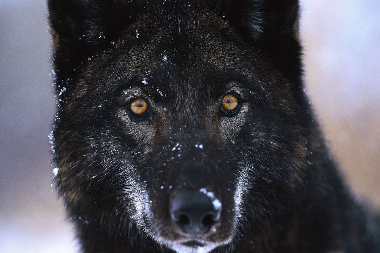 Black Wolf Fresh Hd Desktop Wallpapers 2013   Beautiful ...
