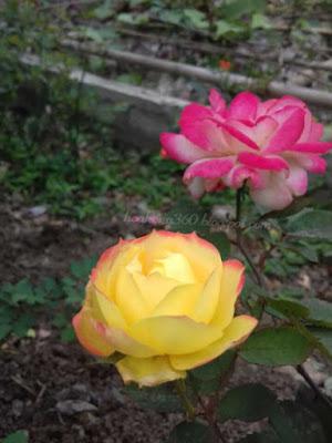 cây công trình hoa hồng đổi màu