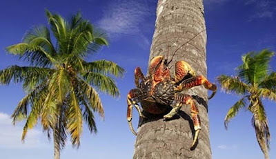 Kepiting Kelapa Memiliki Cubitan Terkuat di Dunia