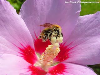 Biene im Hibiskus