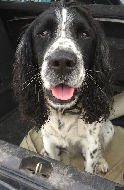 Overweight dogs have a shorter life span, and this post shows how much shorter for 12 popular dog breeds. Photo shows a spaniel in the trunk of a car after a walk.