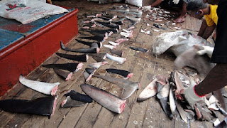 dried shark fins, shark finning