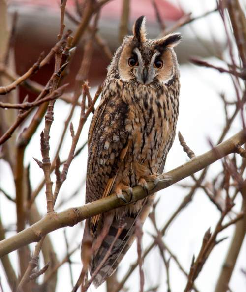 Birds of India - Image of Northern long-eared owl - Asio otus