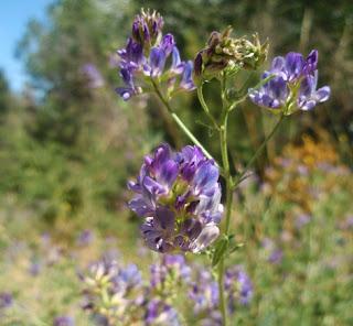 Alfalfa (Medicago sativa)border=