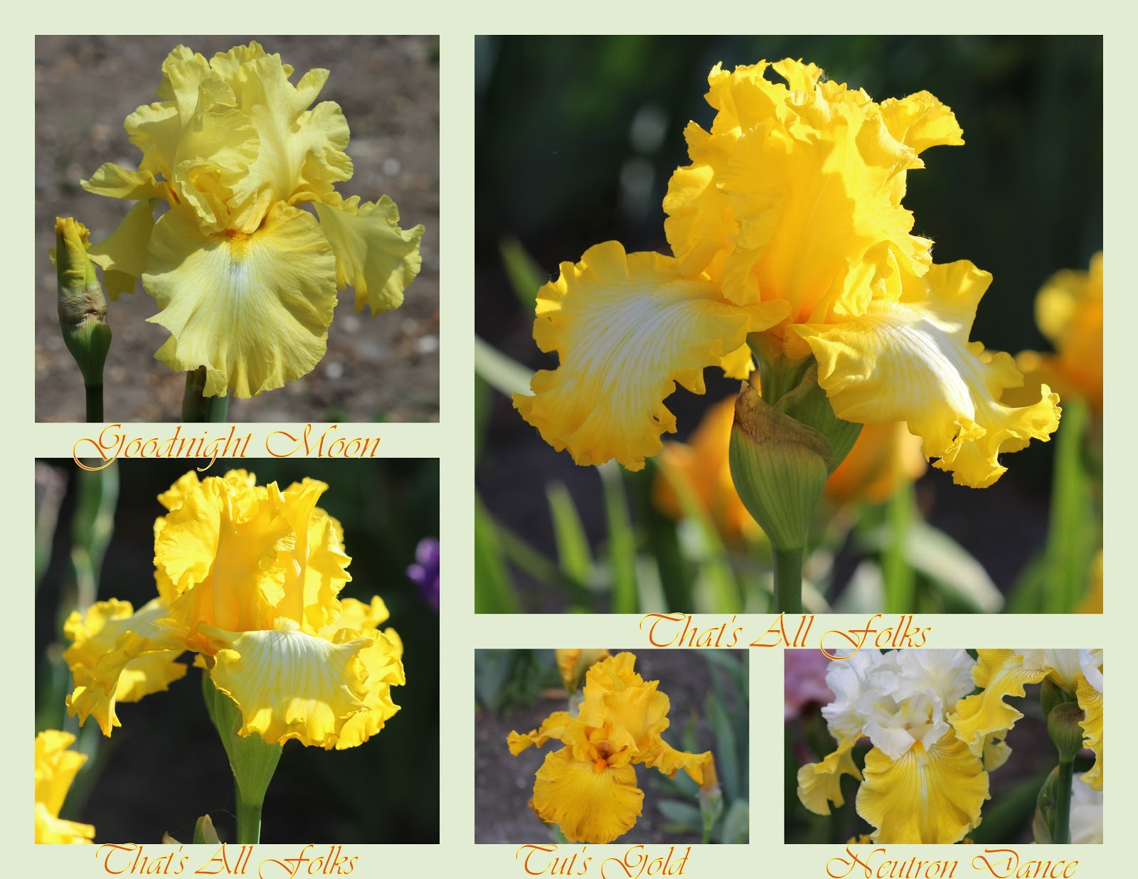 World of irises more photomontages of tall bearded irises these irises bloomed on may 17 th 2016 the colors are rich and dramatic as is in most cases the full lush beards are a nice finishing touch on each of izmirmasajfo Image collections