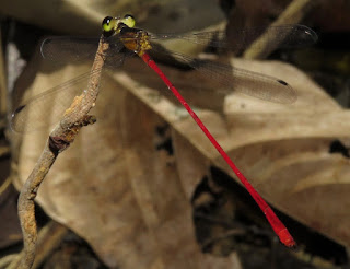 Heteragrion erythrogastrum, Red-bellied Flatwing