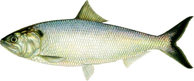 أسعار الأسماك اليوم في جميع محافظات مصر وسوق العبور 2021