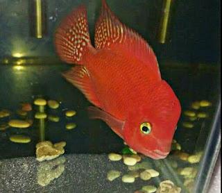 Jenis Ikan Louhan Red Monkey