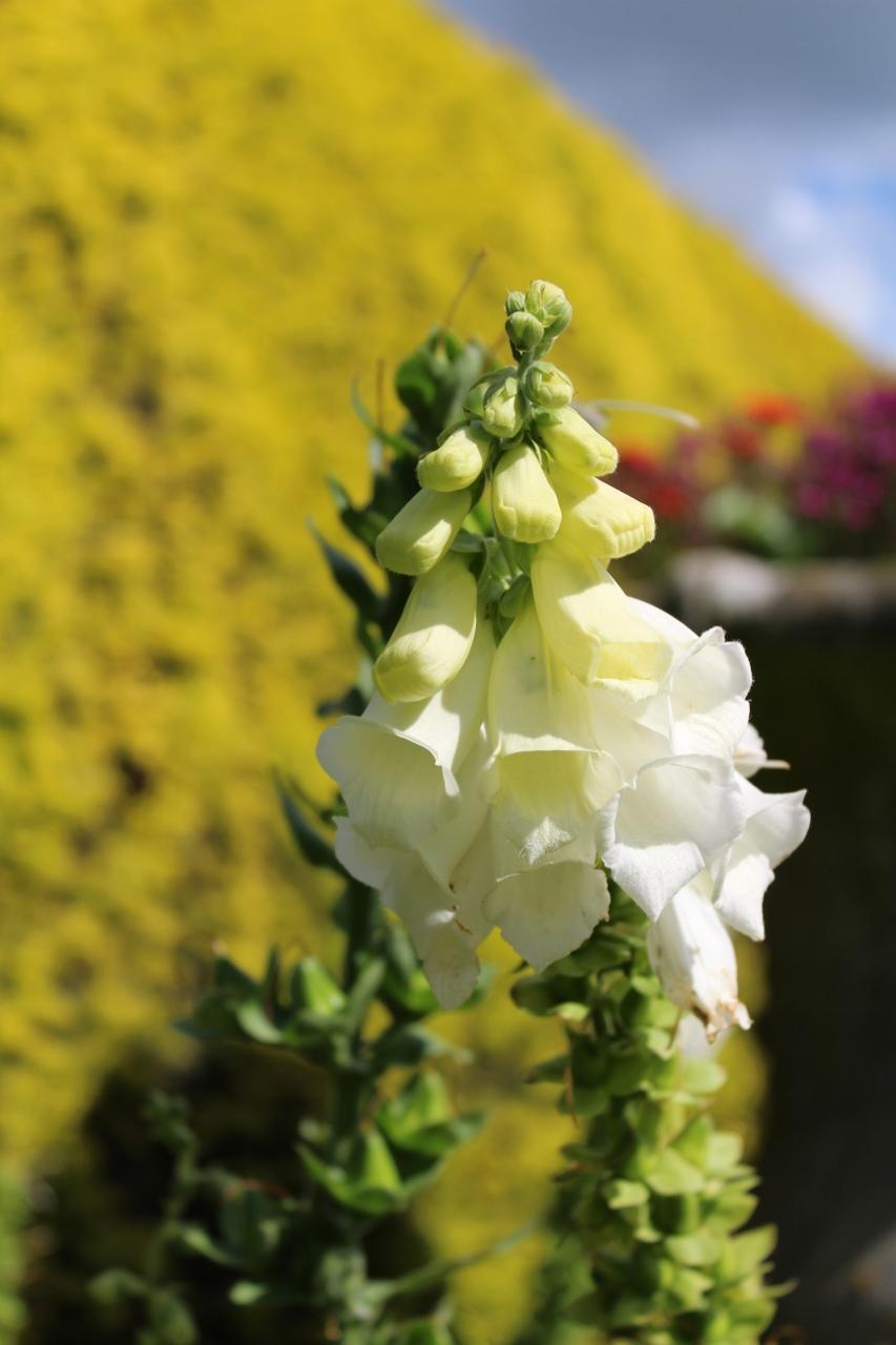 White Foxglove in Ascott Gardens
