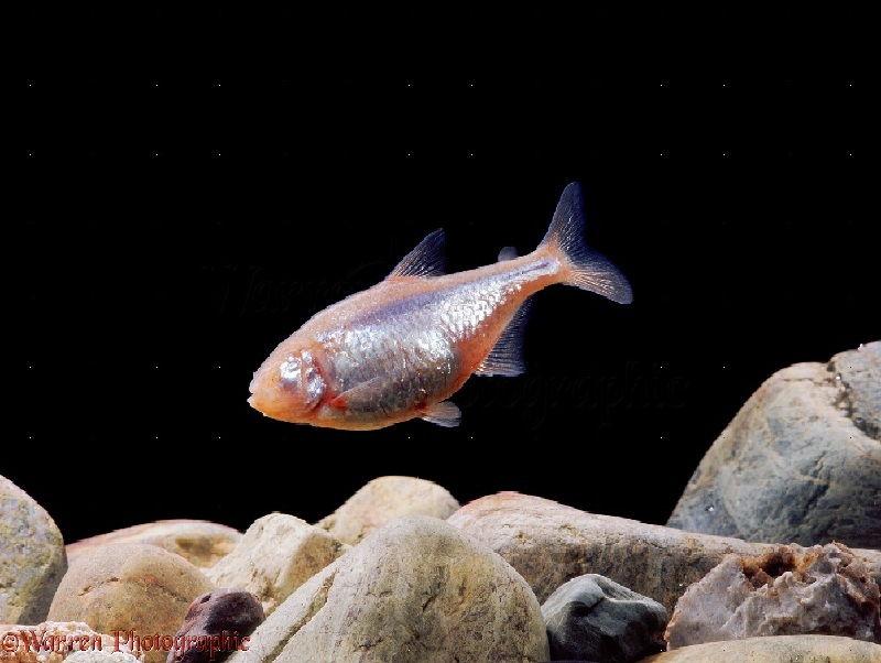 Cara Mudah Ternak Ikan Mata Buta Ternak Ikan Hias