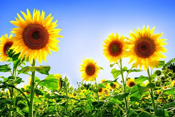 Cara menanam bunga matahari hingga berbunga