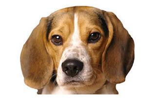 Ojos de cereza en su perro beagle