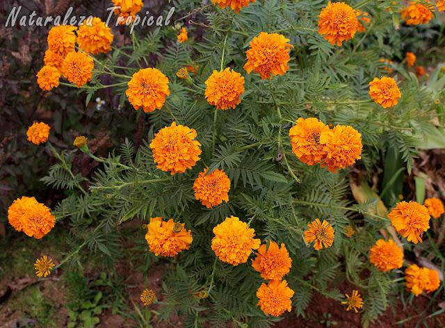 Arbusto ideal para macetas grandes para el exterior de nuestros hogares, Tagetes erecta