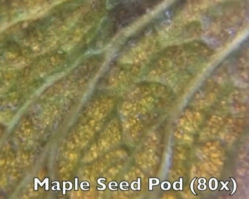 10-Maple-Seed-Pod-80x-Magnification-Smartphone-to-Digital-Microscope-Kenji-Yoshino-aka-kmyoshino-www-designstack-co
