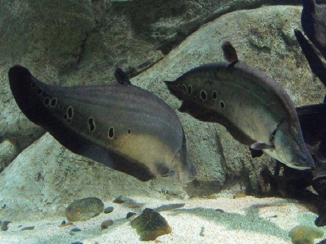 Ikan Belida Hitam