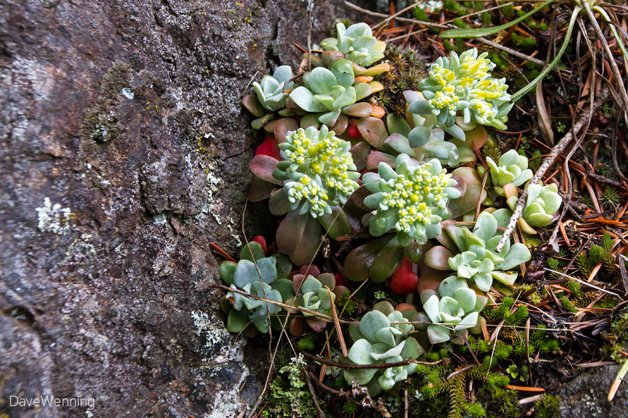Broad-leaved Stonecrop (Sedum spathulifolium)