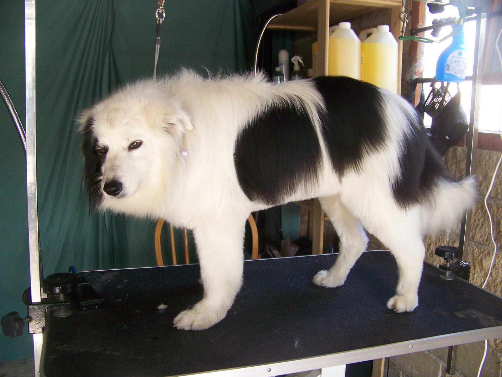 Blissful Dog Grooming Fizz Border Collie