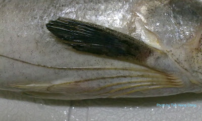 Leptomelanosoma indicum