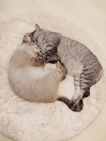 仲良く抱き合って眠るサバトラ猫とシャムトラ猫