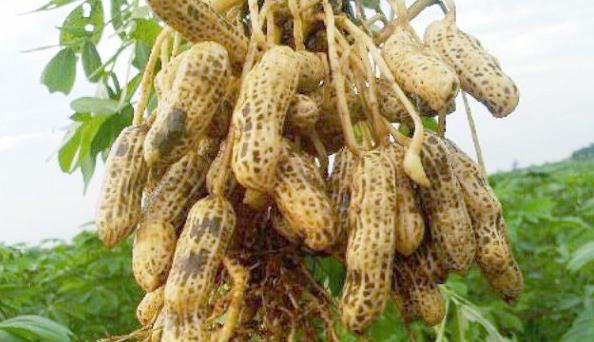 usaha budidaya kacang tanah