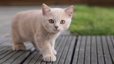 La inteligencia del gato