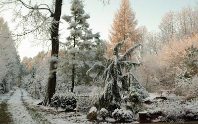 http://fotobabij.blogspot.com/2016/01/jaowiec-horstmann-i-inne-krzewy-pod.html
