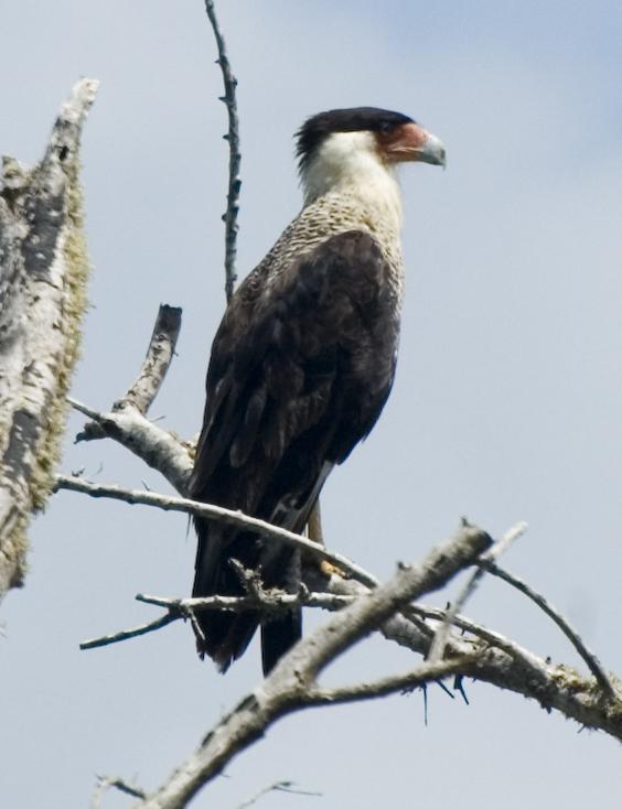 Sw Louisiana Birds 2011
