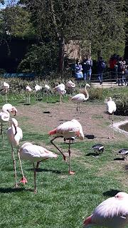 wunderschöne Flamingos im Zolli Basel