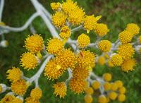 Senecio cineraria (Cineraria maritima)