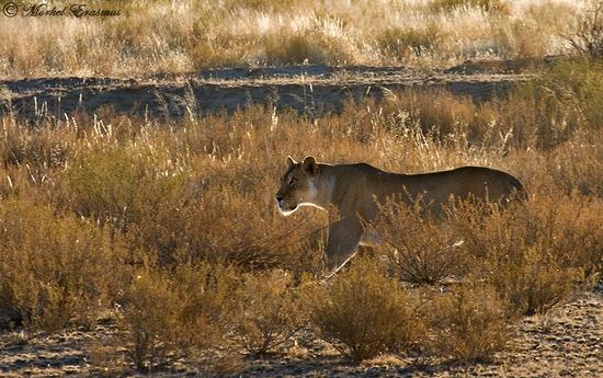 Tracking Kalahari Lions