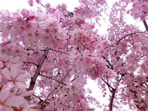 Romantic Flowers Cherry Blossom Flower