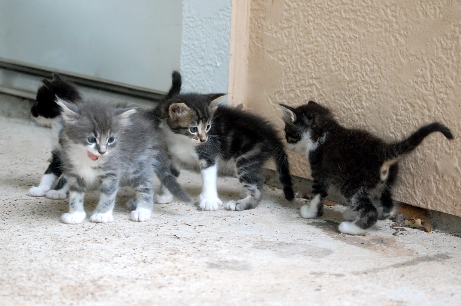 Heritage Schoolhouse Kittens At Four Weeks Old