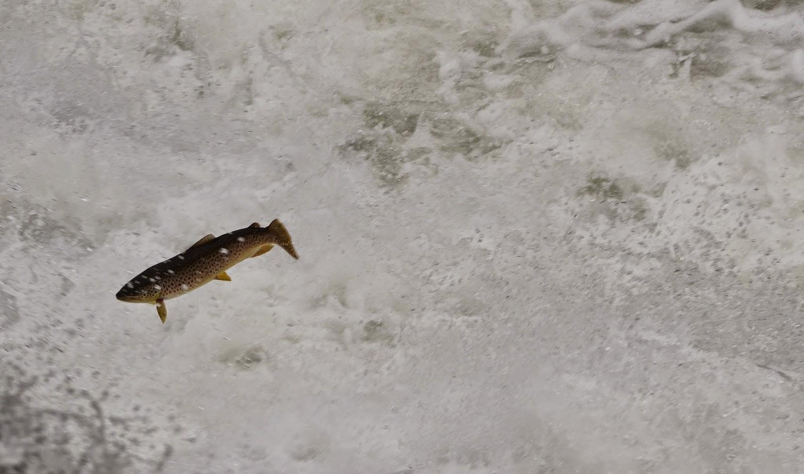 General Engineered Salmon