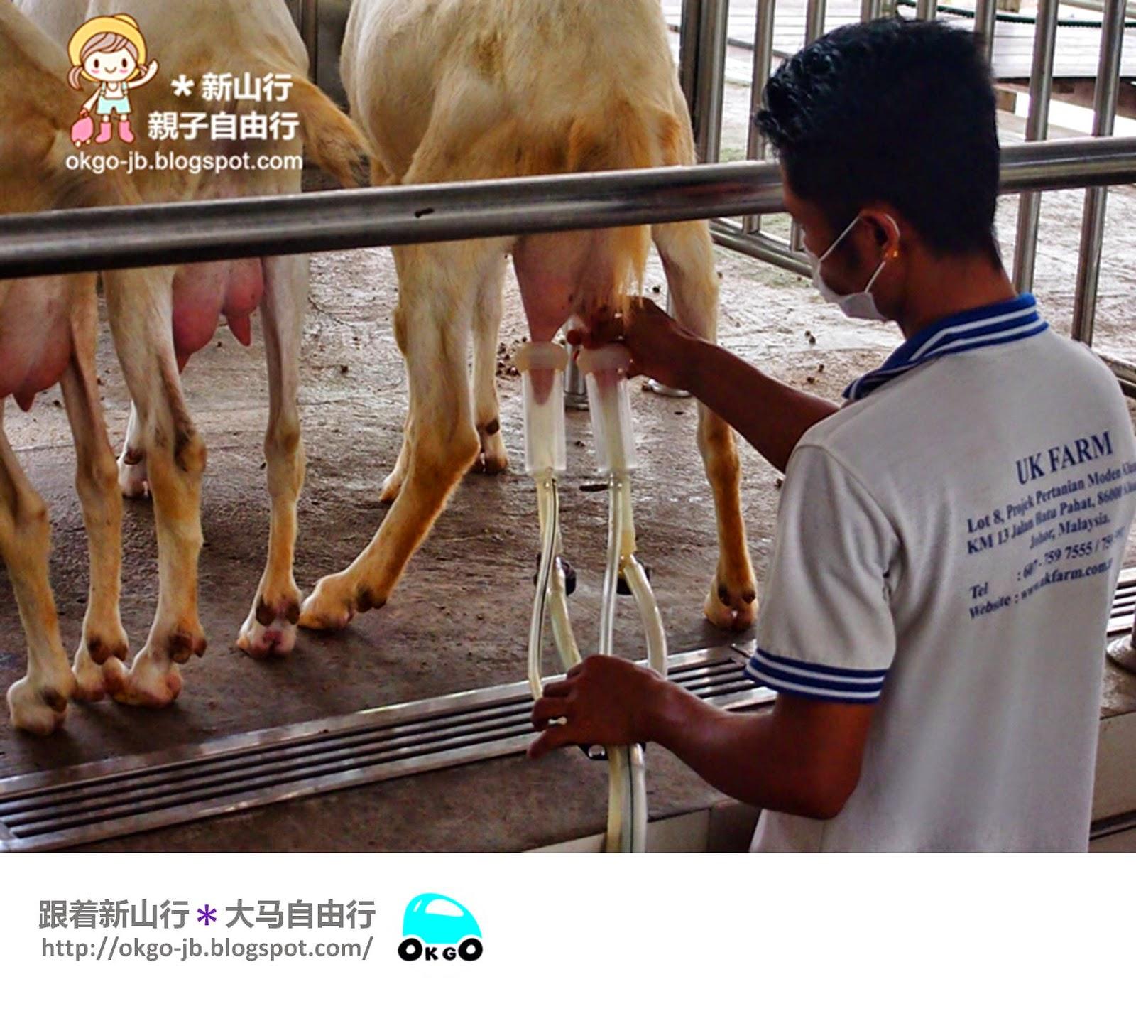 Kluang UK Farm goat milking