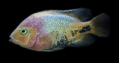 Cichlid fish are popular subjects of scientific study. Recent research supports creation science predictions.