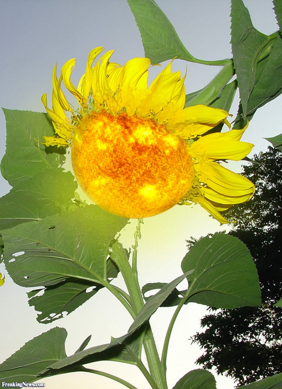 Image of sunflower manipulated to look like the sun