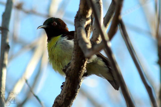 Purple rumped Sunbird - male