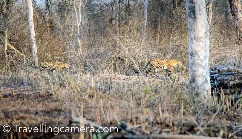 I always thought sighting leopards in wild is impossible but I was proved wrong by these 2 beauties who didn't even show up in front of us but kept posing for us. When they felt that we should save space on our cards, they planned to move out.