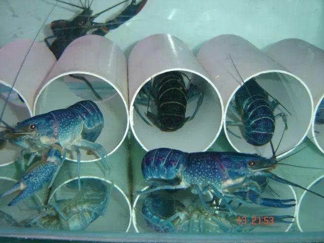 Persembunyian Lobster Air Tawar