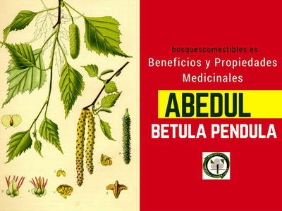 Abedul común propiedades y beneficios para la salud tratándose de ciertas enfermedades cutáneas