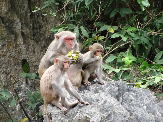 monkeys luon cave halong bay vietnam