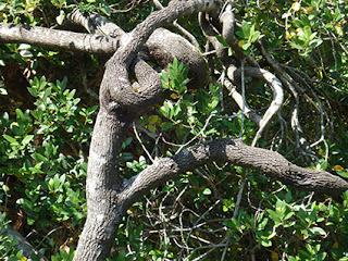 Formas caprichosas en las que crecen las ramas de aladierno