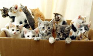Adopt A Persian Cat Miami