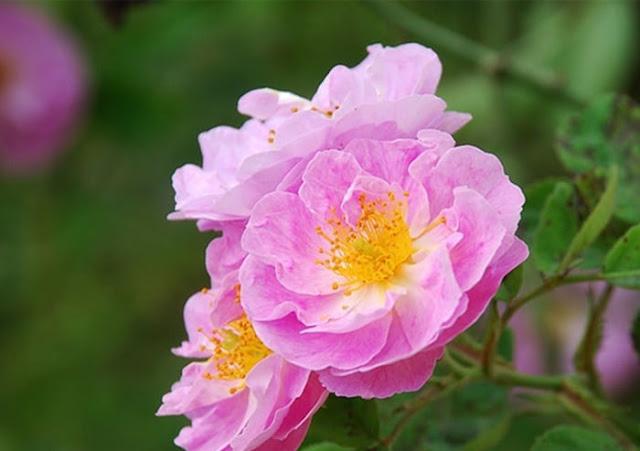 Ý nghĩa của hoa hồng tầm xuân vàng – Loài hoa tượng trưng cho tình cảm chị em gắn bó
