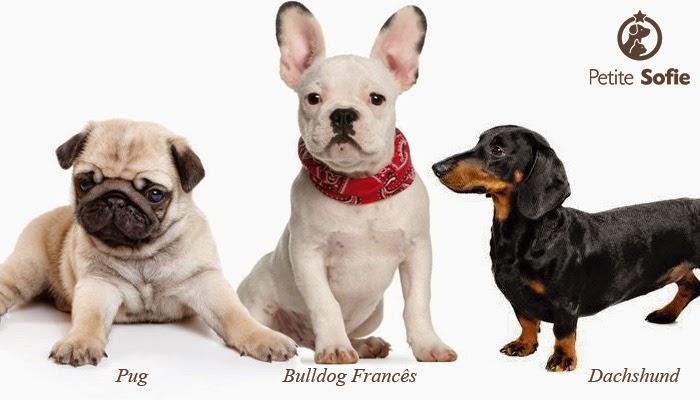 Cães pequenos de pelo curto