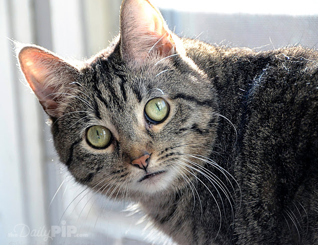 Adopting a wobbly cat with cerebellar hypoplasia