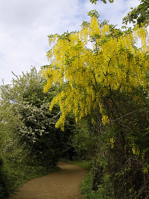 Flowering laburnum bush overhanging path with hawthorn blossom further along.