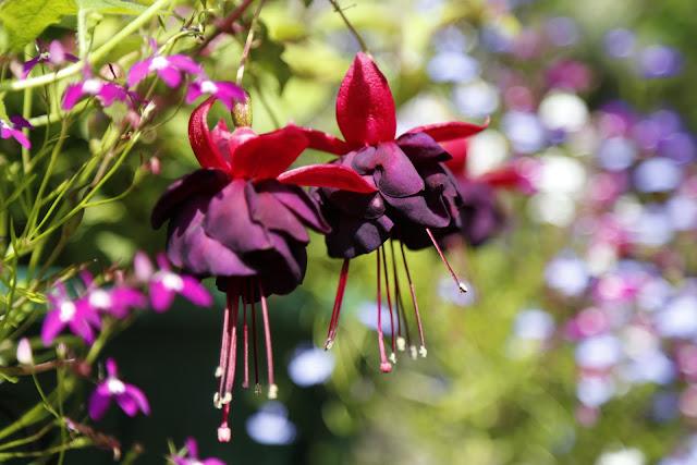 Petunia 'Black Beauty' in Hanging Basket with Lobelia